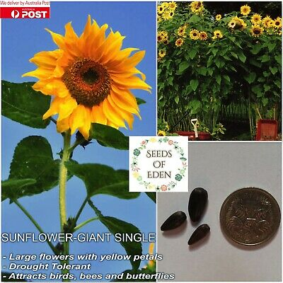 10 SUNFLOWER 'GIANT SINGLE'(Helianthus annus); Beautiful yellow flowers