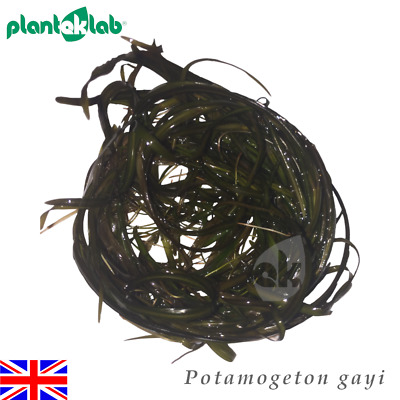 Live Aquarium Plants In Vitro Shrimp Safe UK - Potamogeton gayi