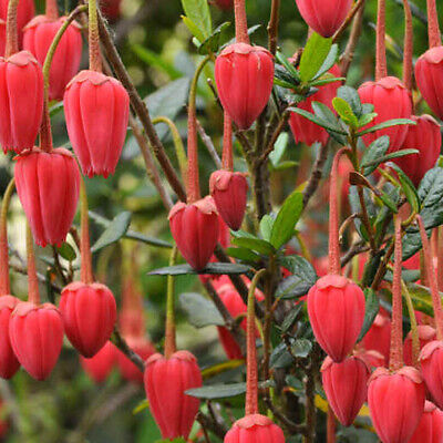 1 X Crinodendron Hookerianum Chile Lantern Tree Evergreen Shrub Plant In Pot