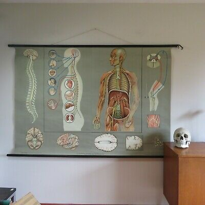 Large vintage NERVOUS SYSTEM school chart roll down educational wall chart