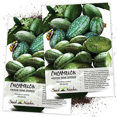 Cucamelon, Mexican Sour Gherkin (Melothria scobra) Twin Pack / 65 Seeds Each