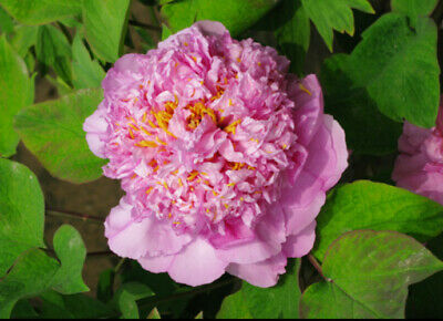 Purple Peony Bulbs Roots Special Gift Cut Flower Home Garden Balcony Ornament