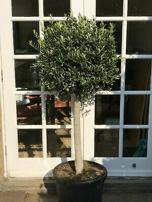 Standard Topiary Ball Shaped Olive Tree - Large mature specimen - 1.5 metres