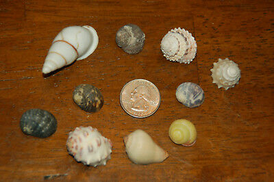 """Set Of 10 Assorted Small Hermit Crab Seashells 1/2"""" To 1""""--Set 29"""