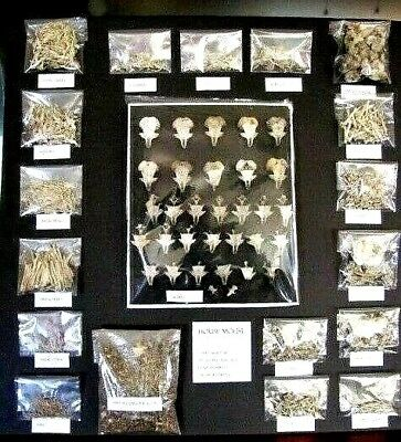 House Mouse Skeletons, Anatomy Divided and Labeled, Taxidermy, Educational