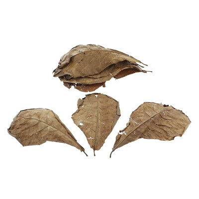 Premium Grade Catappa Indian Almond Leaves Size Medium 10 Leaves 10 Inches