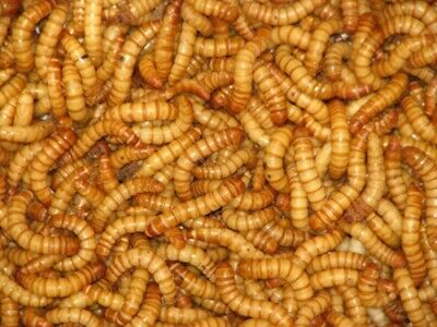 100 to 1000 Live Giant Mealworms Free Shipping Live Arrival Guarantee