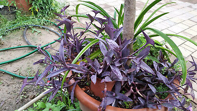 Purple heart Tradescantia pallida two rootless cuttings