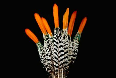 Lady Amherst Pheasant Tail Feathers - Black + White Striped Red/ Orange Tipped