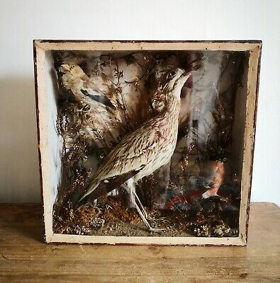 RARE Antique Taxidermy Stone Curlew & Bullfinch Pair in Glazed Case