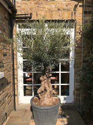 Ancient Gnarled trunk Olive Tree - Large