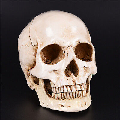 Human Skull white Replica Resin Model Medical Lifesize Realistic NEW 1:1 A3WTYF