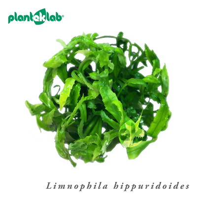 Live Aquarium Plants In Vitro Shrimp Safe UK - Limnophila hippuridoides