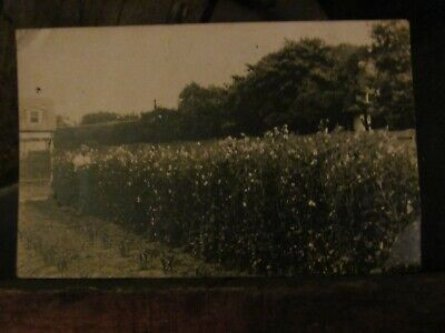 old postcard depicting a grower of sweet peas inspecting the blooms / plants