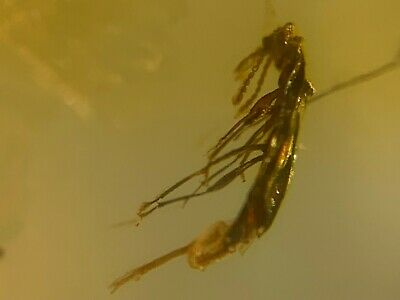 unique unknown beetle Burmite Myanmar Burmese Amber insect fossil dinosaur age