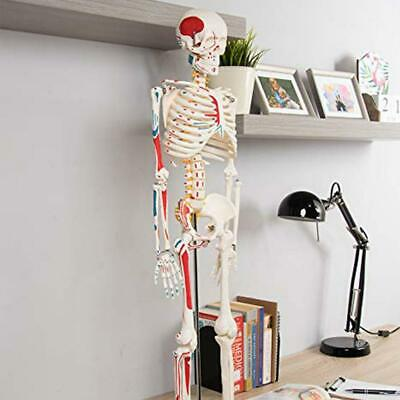 Human Skeleton  Anatomy Series 3D Model Chart Biology Science Education-Mould-