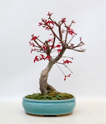 Bonsai Acer Palmatum Deshojo 25 Years Old  With Pot Included