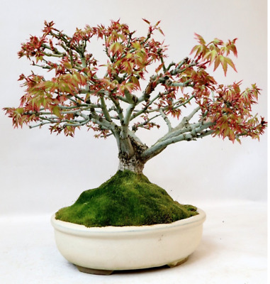Bonsai Acer Palmatum Kashima 30 Years Old  With Pot Included