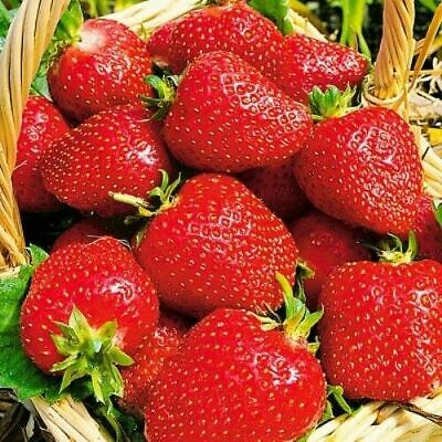 Seeds Giant Strawberry Fresca Rare Large Climbing Organic Heirloom Ukraine