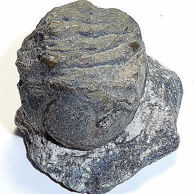 Fossil-Trilobyte-arthropods collectable,FOS-A39, 526 million y.o,43x40x35mm
