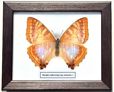 Real Morpho Sulkowskyi Selenaris Butterfly (Female) In Framed Display: Taxidermy