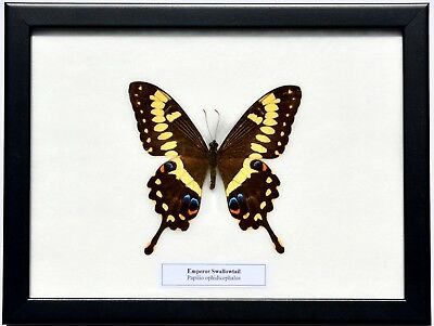 Real Papilio Ophidicephalus; Emperor Swallowtail Butterfly In Framed Display