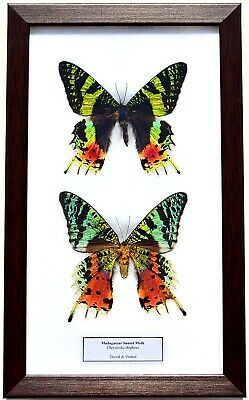 Real Madagascar Sunset Moths; Pair Dorsal & Ventral In  Framed Display:taxidermy