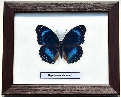 Real Hypolimnas Alimena Butterfly ( Male ) In Framed Display : Taxidermy