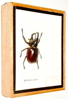 Real Horned Rhinoceros Beetle; Xylotrupes Gideon.taxidermy Insect Entomology