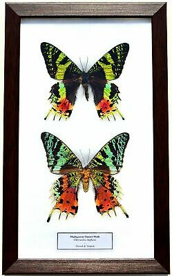 Real Madagascar Sunset Moths; Pair Dorsal & Ventral In Framed Display