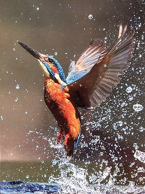 BRITISH KINGFISHER  ERUPTING! SIGNED MOUNTED 12x16 INCHES. READY TO FRAME.