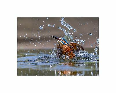 16 x 12 MOUNTED PRINT KINGFISHER ERUPTING FROM THE WATER