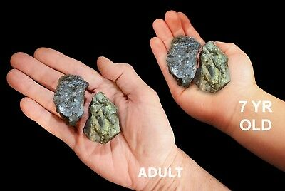 "Rough Labradorite 2"" Set of 2 Metaphysical Gemstone Raw Healing Chakra Stone"