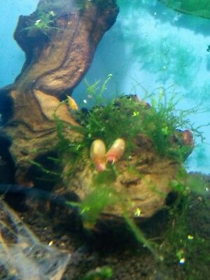 Red Ramshorn Snail 5x - Clean up crew and algae control  Shrimp Safe UK Breed