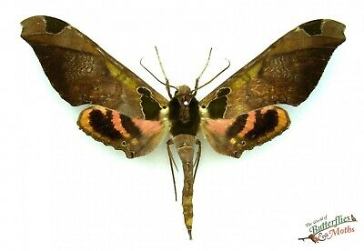 Hawk-moth Isognathus excelsior SET x1 A1 FEMALE  French Guiana Entomology insect