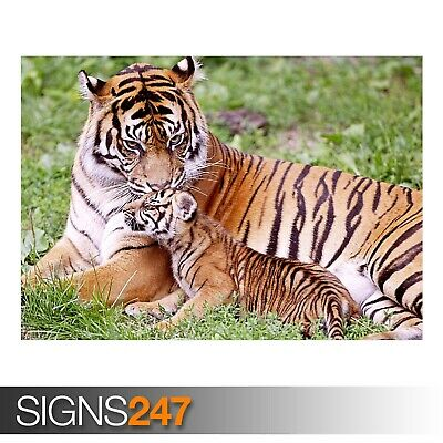 Animal Poster 3785 PROWLER BENGAL TIGER Photo Poster Print Art * All Sizes