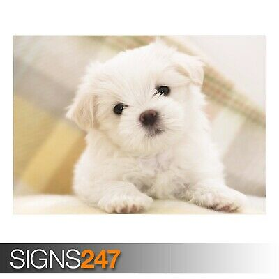 3542 Picture Poster Print Art A0 A1 A2 A3 A4 Animal Poster MALTESE PUPPY