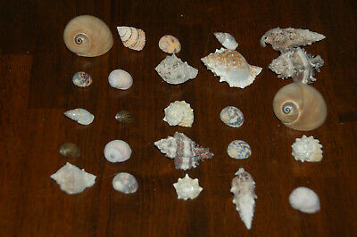 """Set Of 25 Assorted Small Hermit Crab Seashells 1/2"""" To 2""""--Set 72"""