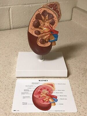 Anatomical Model Kidney Anatomy and Physiology Nephrology