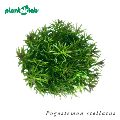 Live Aquarium Plants In Vitro Shrimp Safe UK - Pogostemon stellatus