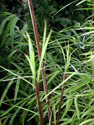 Red stemmed clumping bamboos Asian Wonder Fargesia Large 15 Litre plants 6+ft