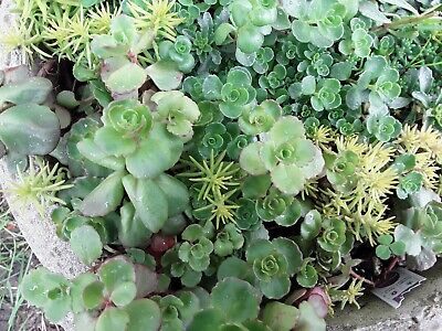 25 Mixed Perennial Succulent Cuttings, cold hardy different varieties