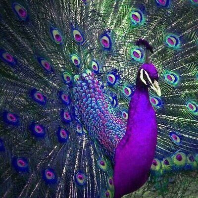 Peacock Full Drilled 5D Diamond Painting Embroidery Cross Stitch Art DIY Kits #T