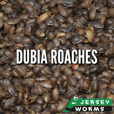 100 Medium Dubia Roaches - Jersey Worms
