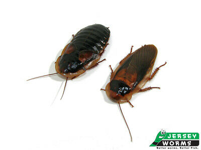 20 Adult Females & 10 Adult Males Dubia Roaches - Ready to Breed