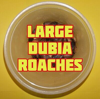 "LARGE Blaptica Dubia Roaches, Water Crystals, Chow! 3/4-1""! PLUMP!"