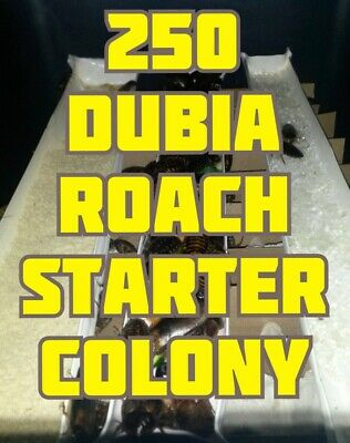 250 Dubia Roaches Starter Colony Water Crystals Chow 40 Adults, 250 mixed nymphs