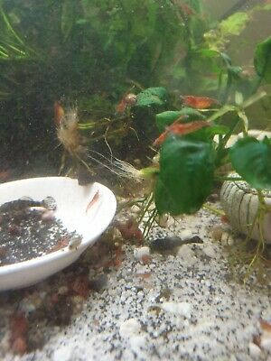 Red Cherry Shrimps For Sale!