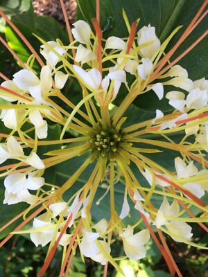 Hedychium ellipticum. Hardy exotic flowering ginger plant. Supplied bare rhyzome