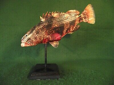 Little Fish Figure Vintage Style Art Sculpture Non-Taxidermy on Display Stand